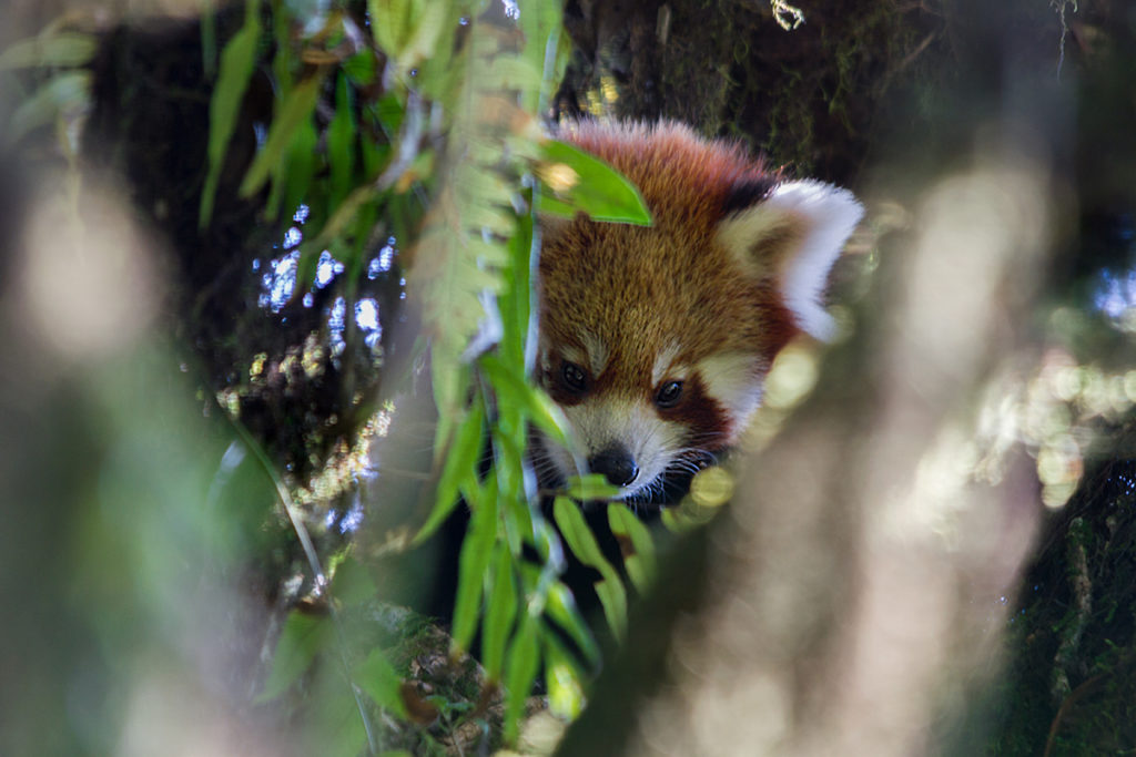 Red Panda Tour | Singalila National Park