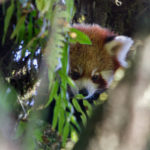 Red Panda Tour – Singalila National Park