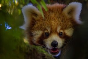 |Red Panda Tour in Singalila NP 6N|7D|