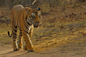 |Tiger Trail of Madhya Pradesh 11N|12D|