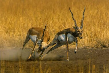 black buck | gujarat